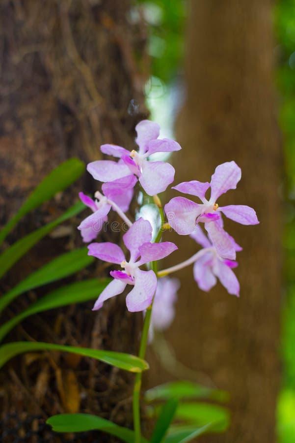 Orquídea cor-de-rosa no jardim fotos de stock