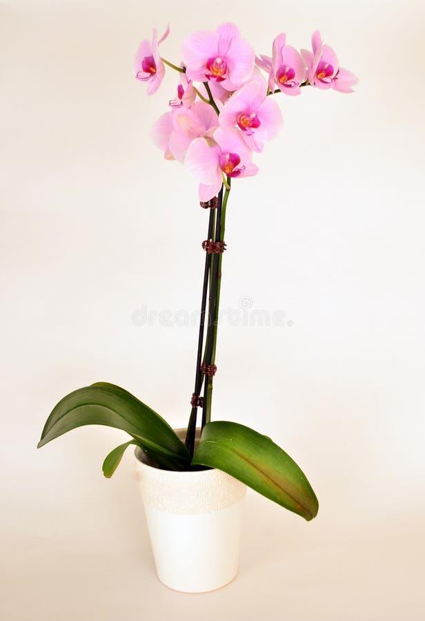 Orquídea cor-de-rosa no potenciômetro branco fotografia de stock royalty free
