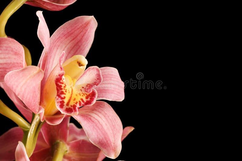 Orquídea cor-de-rosa/roxa no fundo preto imagem de stock royalty free