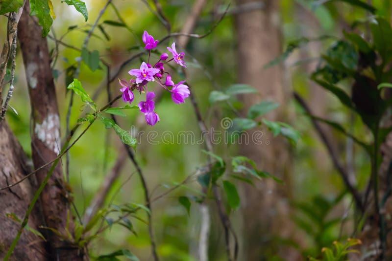 Orquídea cor-de-rosa selvagem na selva imagens de stock