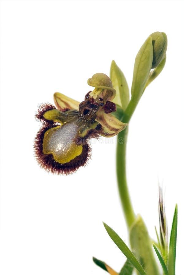 Orquídea da abelha do espelho - espéculo do Ophrys imagens de stock royalty free