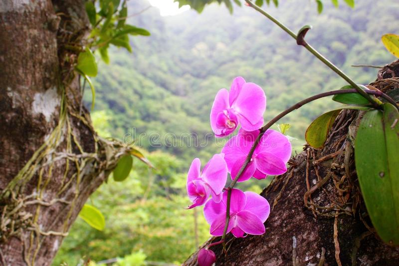 Orquídea da cor-de-rosa selvagem foto de stock