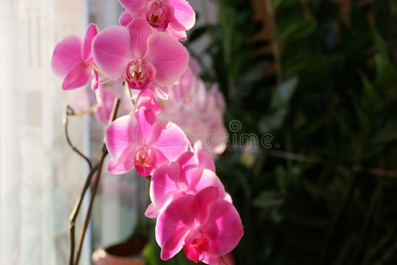Orquídea da manhã foto de stock royalty free