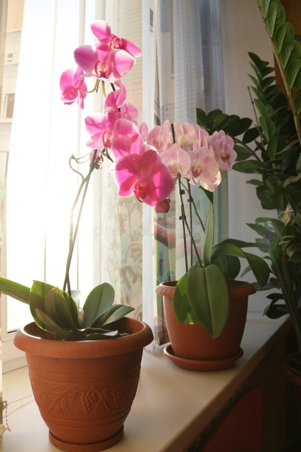 Orquídea da manhã fotografia de stock