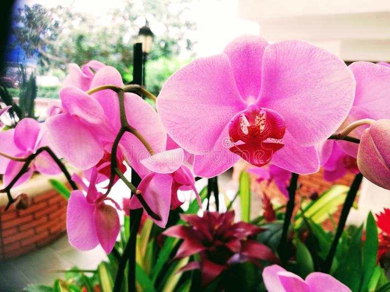 Orquídea da palaenopse Roxo intenso Luxo fotografia de stock royalty free
