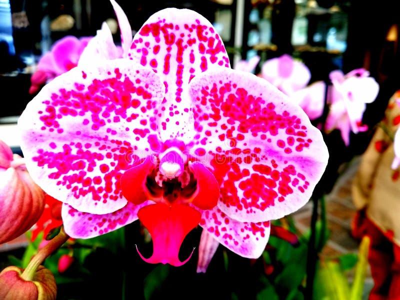 Orquídea da palaenopse Roxo intenso Luxo imagem de stock