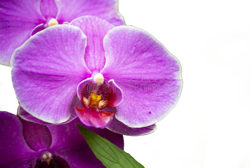 Orquídea da traça isolada foto de stock