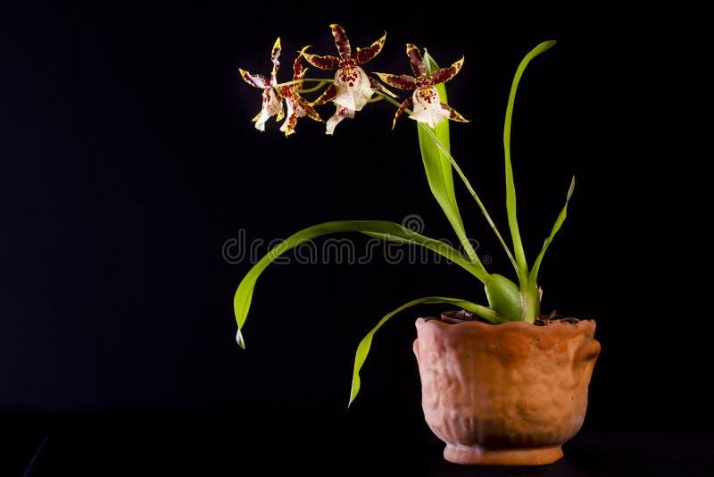 Orquídea de aranha fotografia de stock