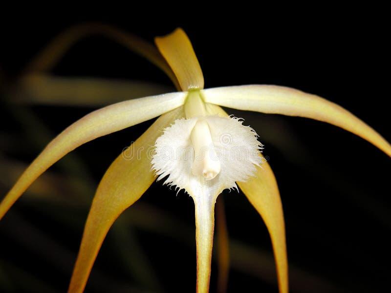 Orquídea de Brassavola foto de stock royalty free