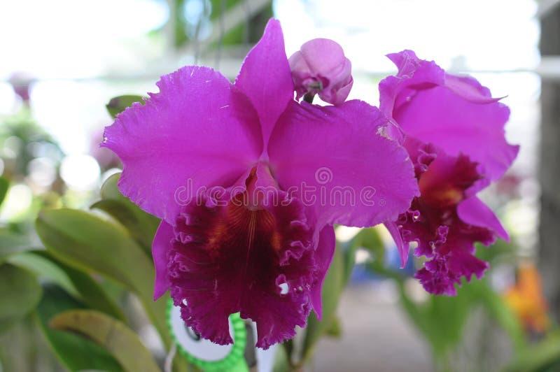 Orquídea de Cattleya imagen de archivo