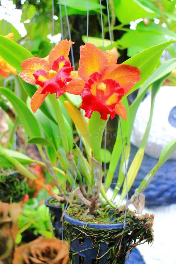 Orquídea de Cattleya foto de archivo libre de regalías