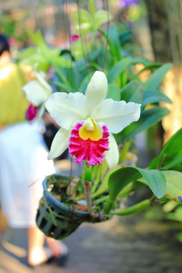 Orquídea de Cattleya fotos de archivo libres de regalías