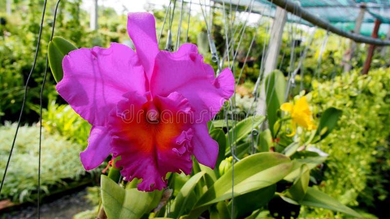 Orquídea de Cattleya fotografía de archivo libre de regalías