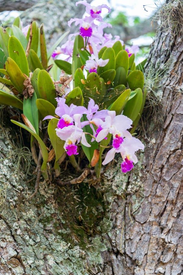 Orquídea de Cattleya Trianae fotos de archivo