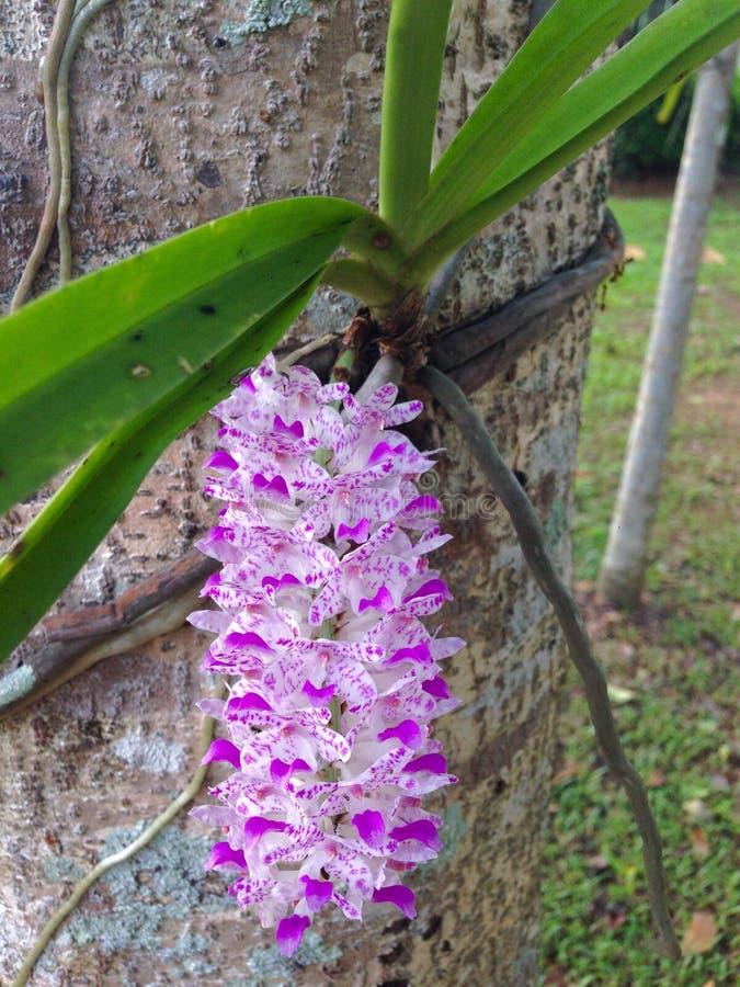 Orquídea de cola de zorra fotos de archivo