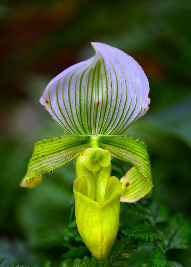 Orquídea de deslizador das senhoras imagem de stock royalty free