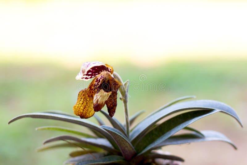 Orquídea de deslizador murcho da senhora fotos de stock royalty free