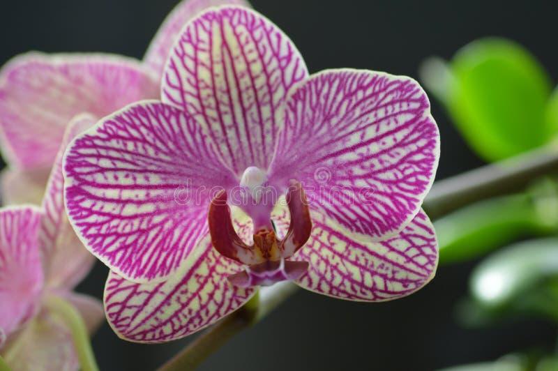 Orquídea de florescência imagem de stock