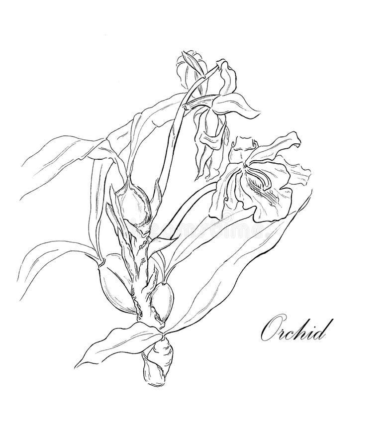 Orquídea de florescência com folhas e flores no branco imagem de stock