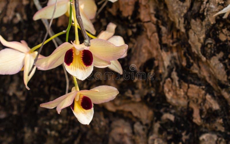 A orquídea de florescência do foco no fundo da árvore, a flor tem branco, roxo e o amarelo entrelaça fotografia de stock royalty free