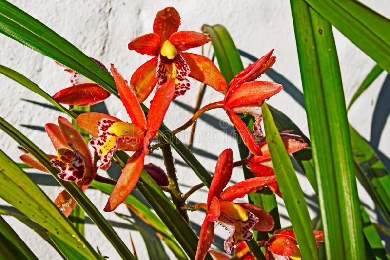 Orquídea de florescência vermelha do barco imagens de stock royalty free