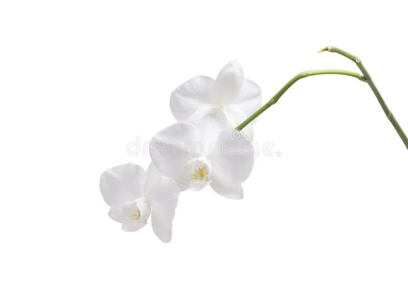 Orquídea de la flor blanco imagen de archivo libre de regalías