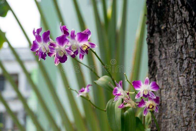 Download Orquídea De La Púrpura De Tailandia Foto de archivo - Imagen de ramificación, hermoso: 64208106