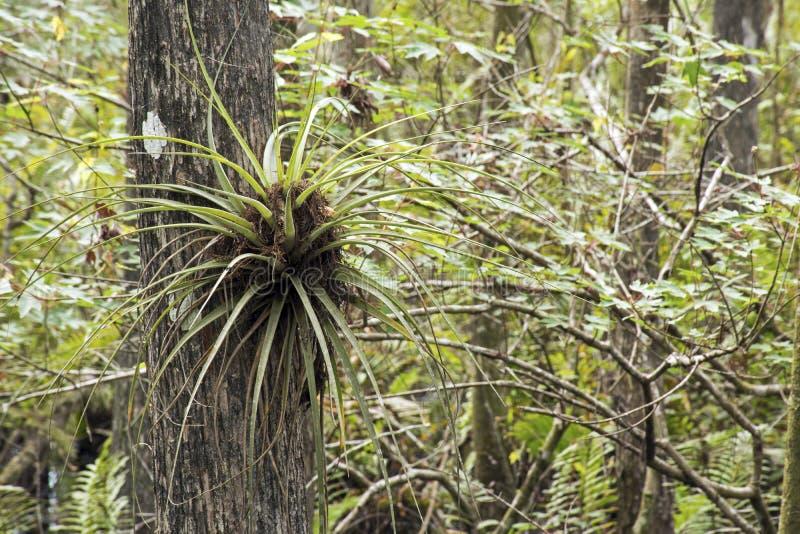 Orquídea de mariposa en el árbol de Cypress foto de archivo