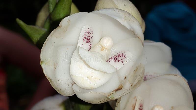 Orquídea de Panamenian fotografia de stock royalty free