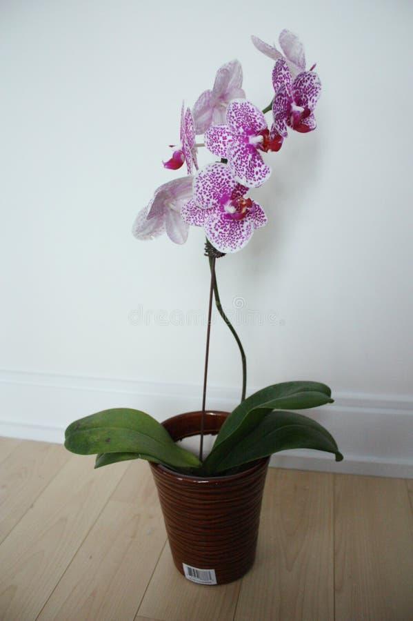 Orquídea de polilla imágenes de archivo libres de regalías