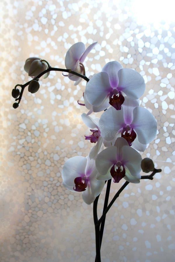 Orquídea de polilla con las flores blancas y púrpuras cerca de la ventana imágenes de archivo libres de regalías