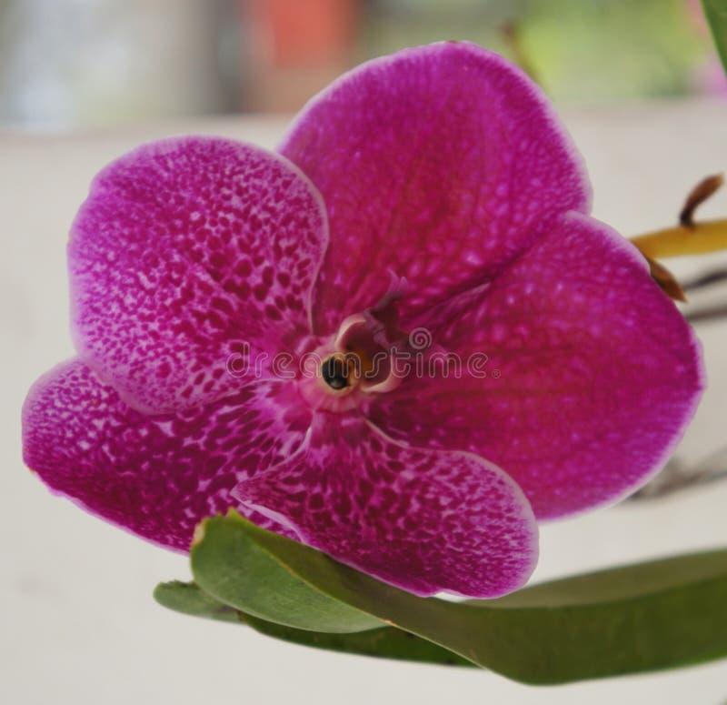 Orquídea de polilla Singapur imagenes de archivo