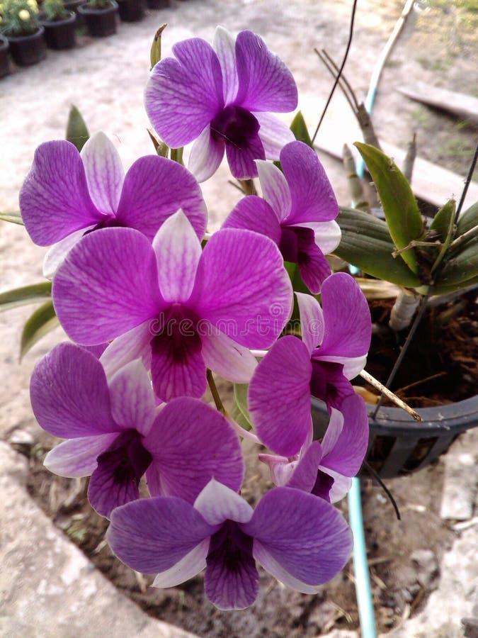 Orquídea de Puple foto de stock royalty free