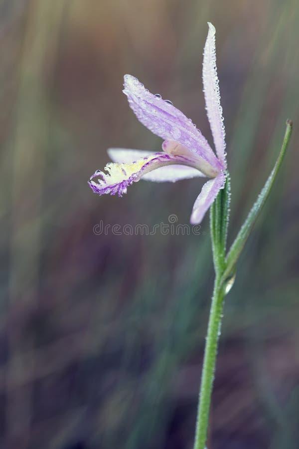 Orquídea de Rose Pogonia, la Florida imagen de archivo