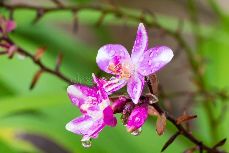 Orquídea de tierra después de la lluvia imágenes de archivo libres de regalías