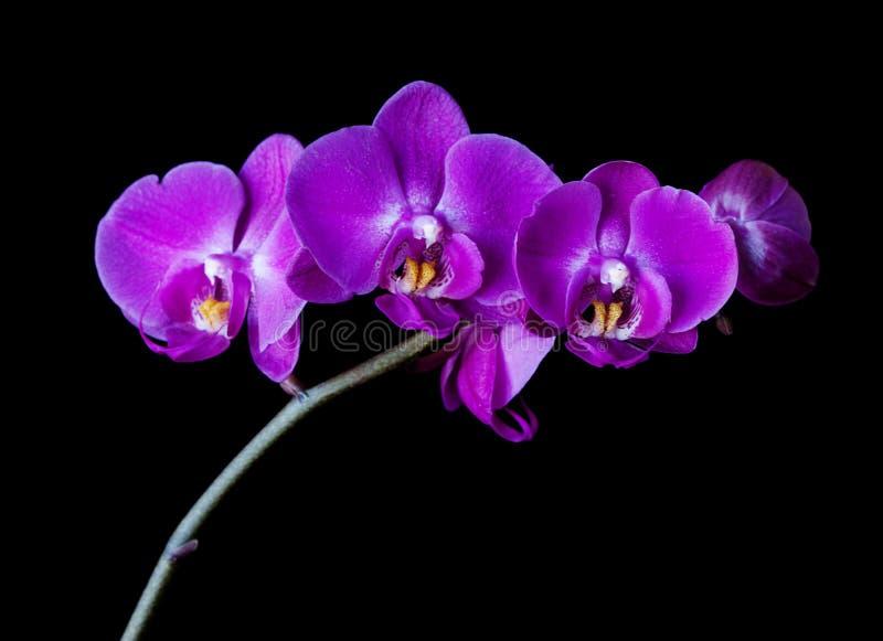 orquídea de traça Roxo-cor-de-rosa no fundo preto foto de stock