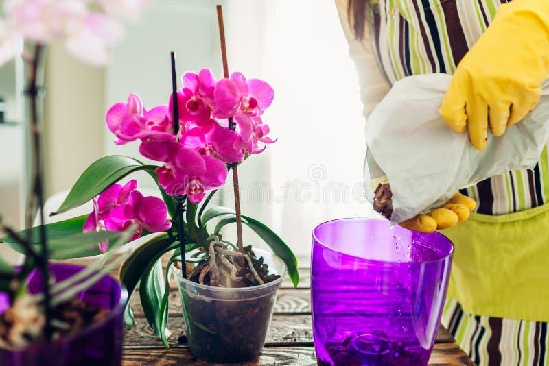 Orqu?dea de transplanta??o da mulher em um outro potenci?metro na cozinha Dona de casa que toma de plantas e de flores da casa fotos de stock royalty free