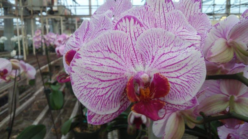 Orquídea de W&P fotografía de archivo libre de regalías