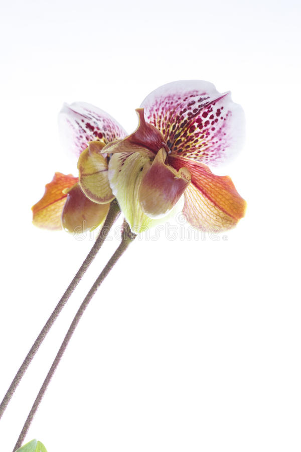 Orquídea del deslizador de señora fotografía de archivo libre de regalías