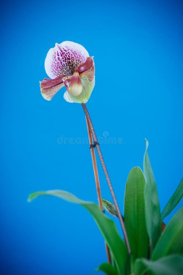 Orquídea del deslizador de señora foto de archivo libre de regalías