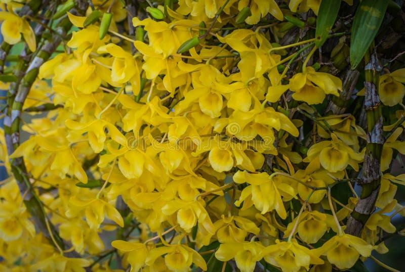 Orquídea do amarelo de Chantaboon do Dendrobium imagens de stock royalty free