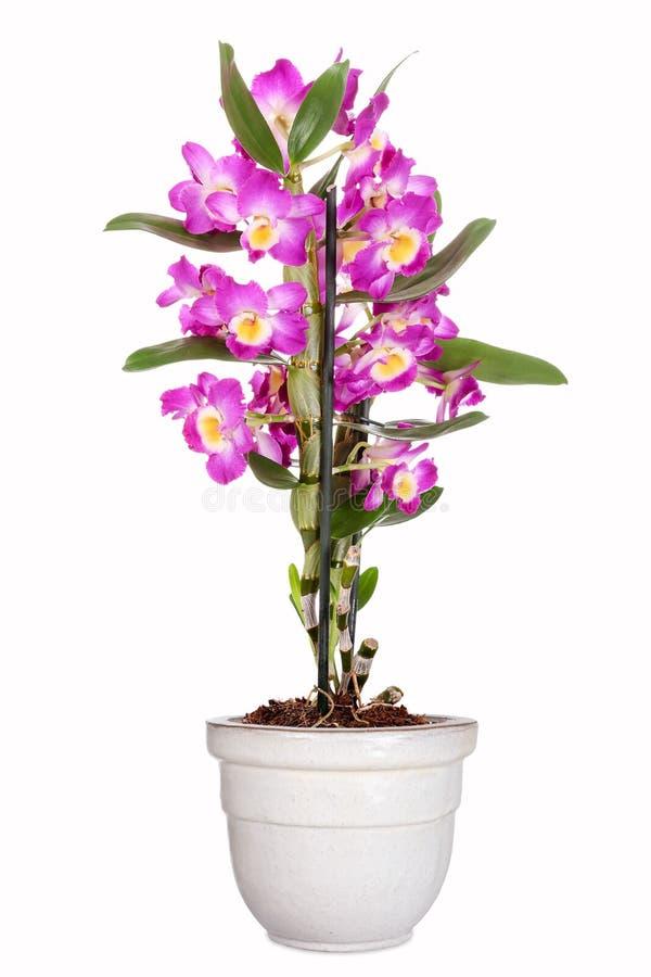 Orquídea do Dendrobium imagem de stock royalty free