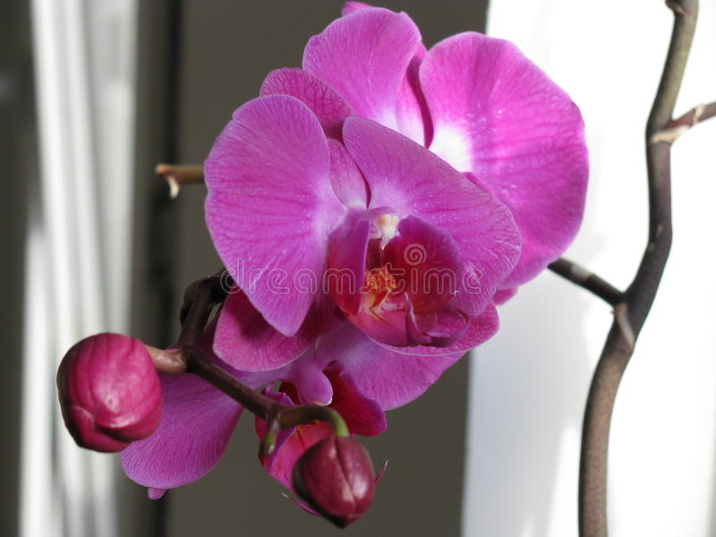 Orquídea do Phalaenopsis fotografia de stock royalty free