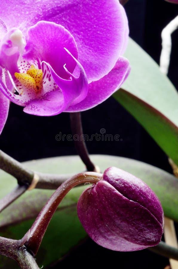 Orquídea e botão fotos de stock