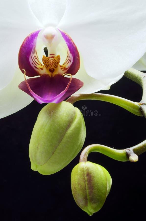 Orquídea e botões imagem de stock