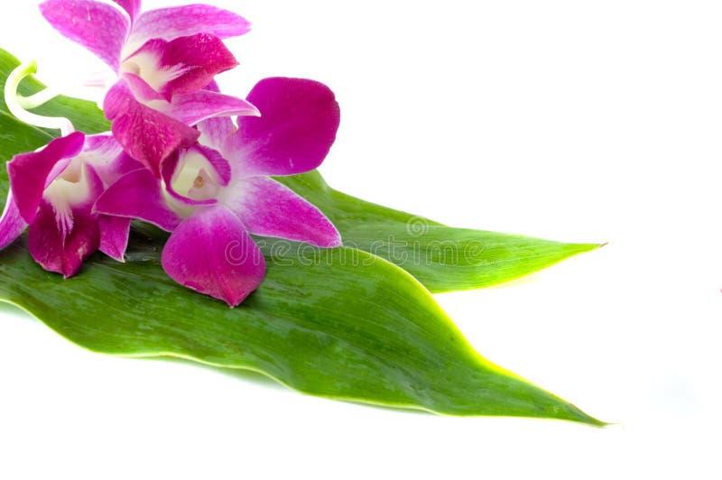 Orquídea e folha da flor. imagem de stock royalty free