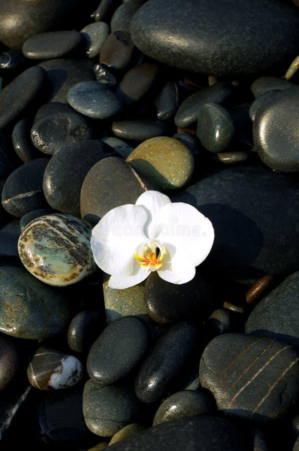 Orquídea e pedra imagem de stock