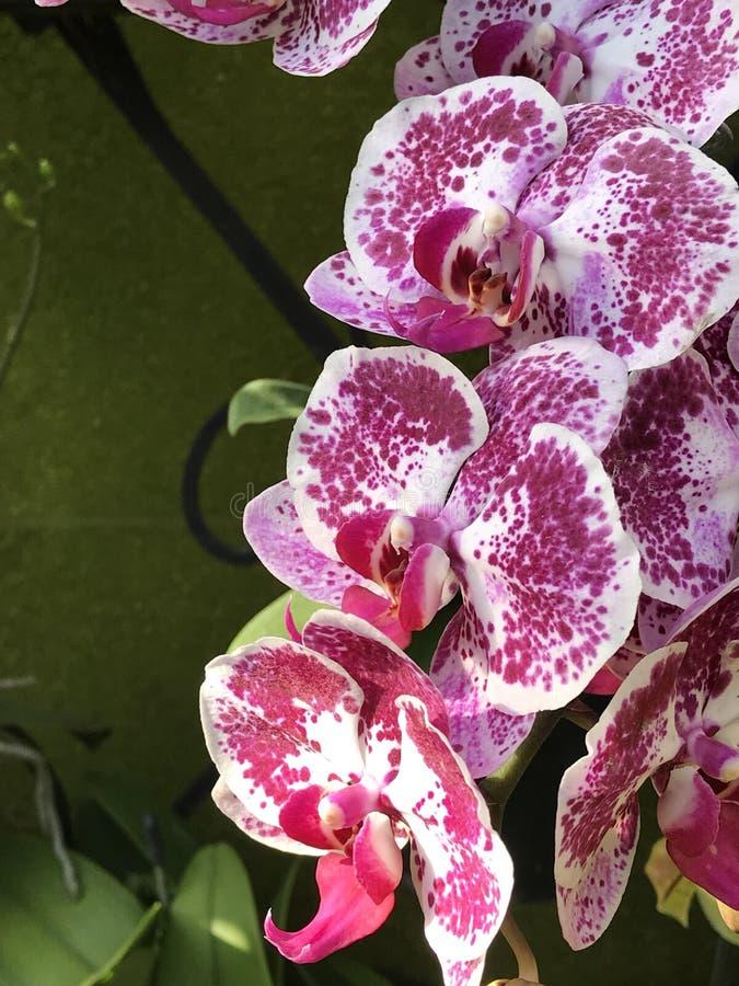 Orquídea em jardins de Longwood imagem de stock