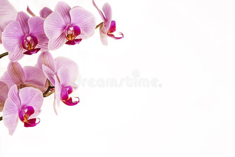Orquídea em um fundo branco imagem de stock