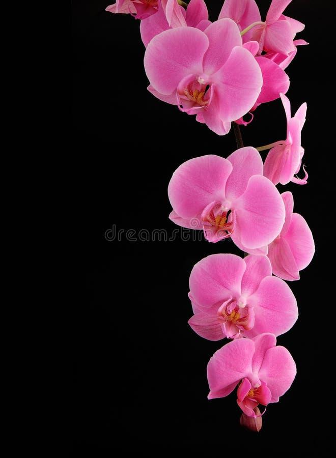 Orquídea em um fundo preto imagem de stock royalty free